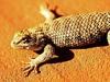 lizard_160